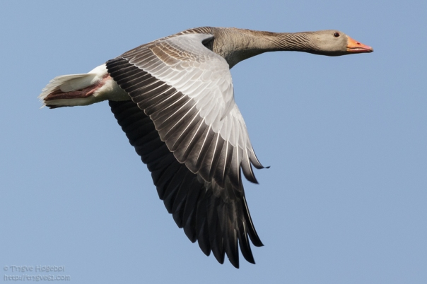 Day 5 - Graylag Goose