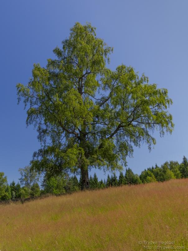 Majestic birch, Kjekstadmarka